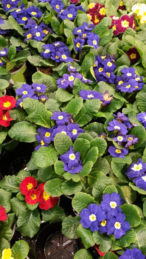 Floral composition. primrose. yellow, red, blue on green leaves royalty free stock photography