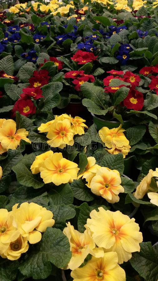 Floral composition. primrose. yellow, red, blue on green leaves royalty free stock photo
