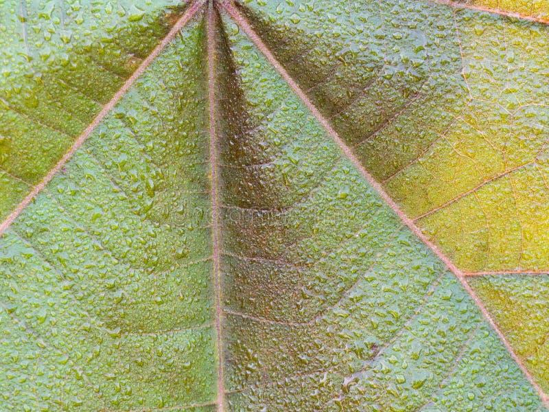 Floral de la hoja verde de BO del rojo fotografía de archivo libre de regalías