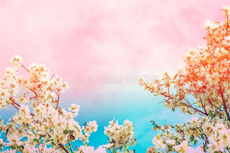 Floral frame from blooming almond plum cherry tree blossom. Branches with small flowers green leaves on toned turquoise pink sky stock photo