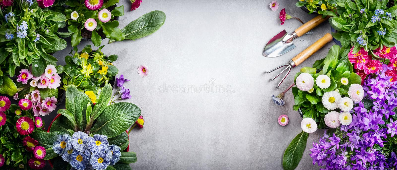 Floral gardening background with variety of colorful garden flowers and gardening tools on concrete background, top view, place fo royalty free stock photo