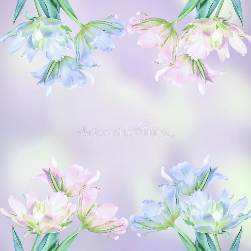 Greeting card with blue and pink tulip flowers vector illustration