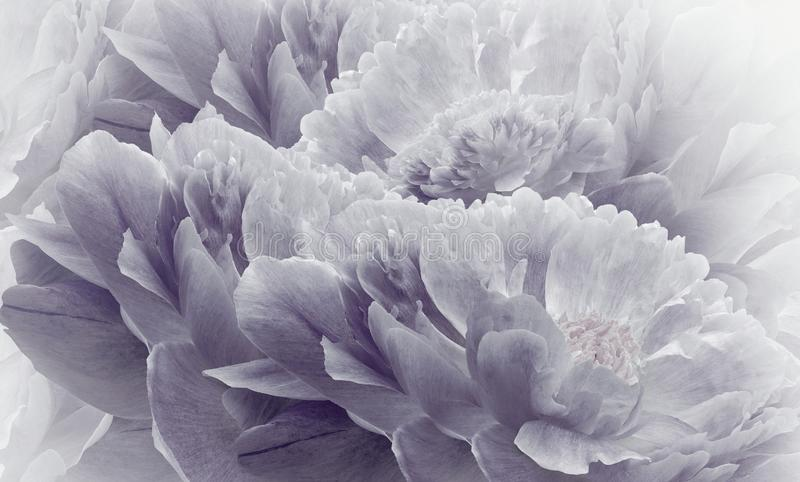 Floral halftone light violet background. Flowers and petals of a light violet peonies close up. royalty free stock photography