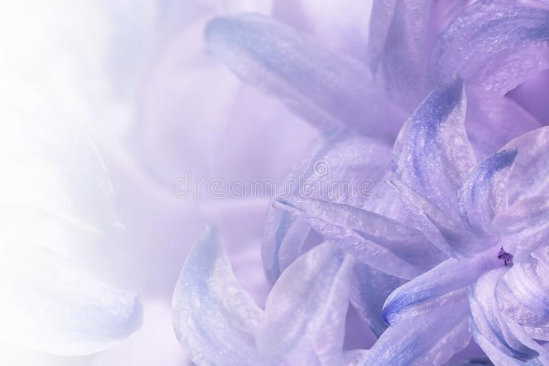 Floral light purple-white background. Flowers of white-blue-violet hyacinth close-up. Flower collage for postcard. stock images
