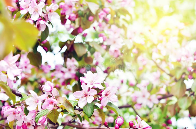 Floral natural background spring time season. Blooming apple tree stock photos