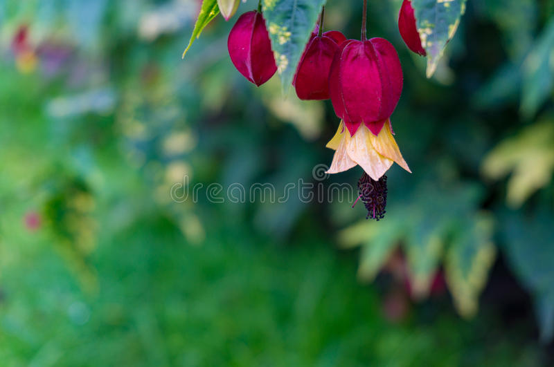 Floral nature background of colorful Indian mallow flowers stock image
