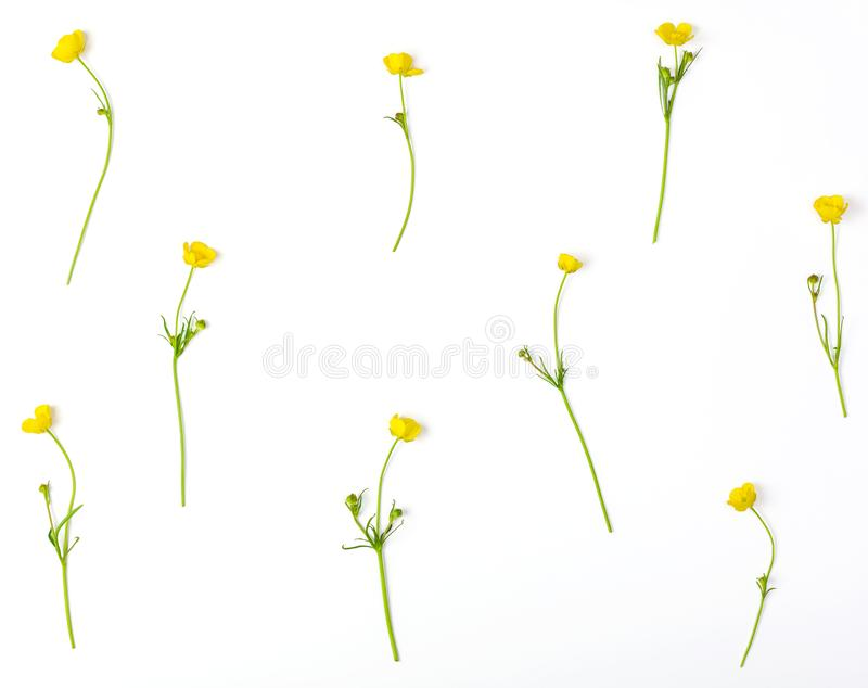 Floral pattern made of yellow buttercups flowers isolated on white background. Flat lay. Top view royalty free stock image
