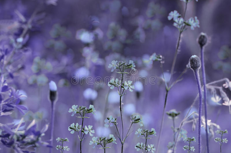 Floral purple-blue background. Violet wildflowers on a bokeh background. Close-up. Soft focus. Nature stock photo