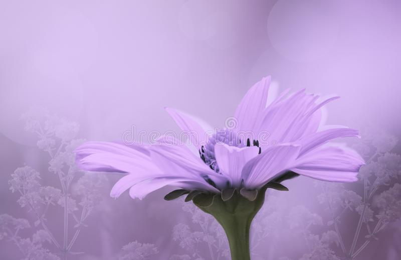 Floral purple-pink background. Pink daisy flower close-up on a sunny summer day in a forest in a clearing. stock photo