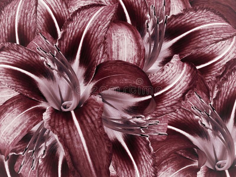 Floral red background. Flowers light blue lily close-up. Lilies petals. stock photo
