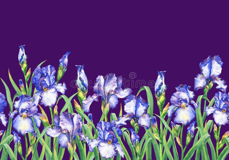 Floral seamless border with flowering blue irises, on violet background. Isolated watercolor hand drawn painting illustr royalty free illustration