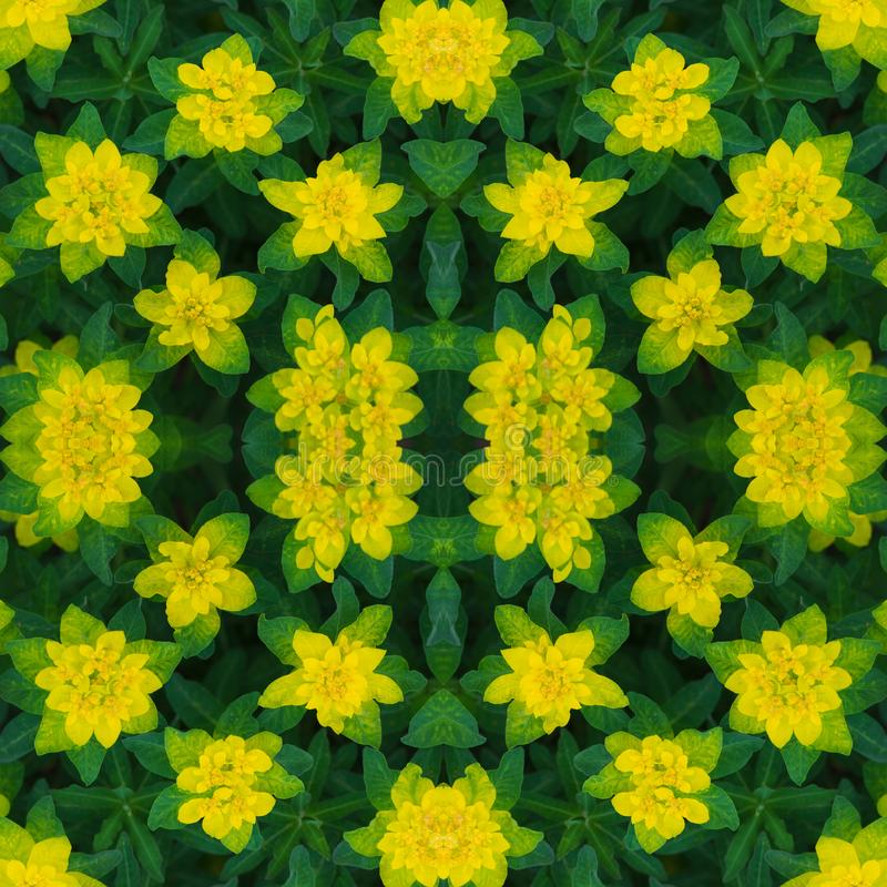 Floral seamless pattern. Abstract floral background, ornament. Bright yellow flowers texture. Euphorbia epithymoides or cushion royalty free stock photography