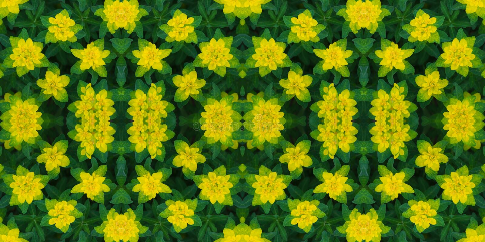 Floral seamless pattern. Banner. Abstract floral background, ornament. Bright yellow flowers texture. Euphorbia epithymoides or. Cushion spurge royalty free stock image