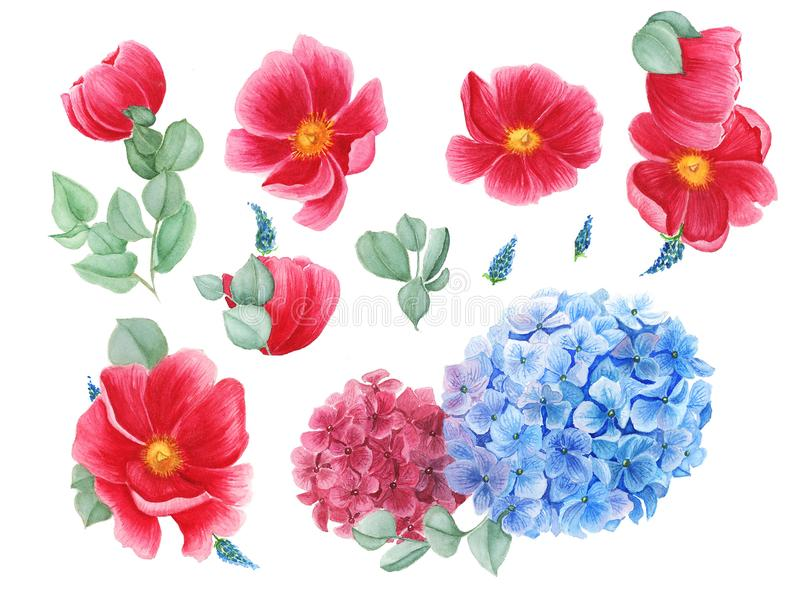 Floral set with red anemones, red and blue hydrangea and green leaves, watercolor painting royalty free illustration