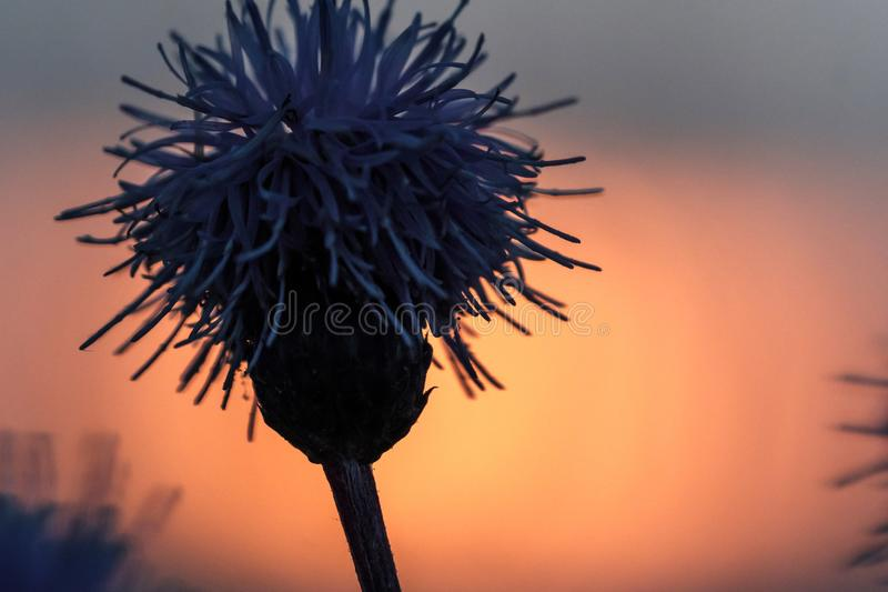 The floral silhouette of plants at sunset. Summer evening stock photography