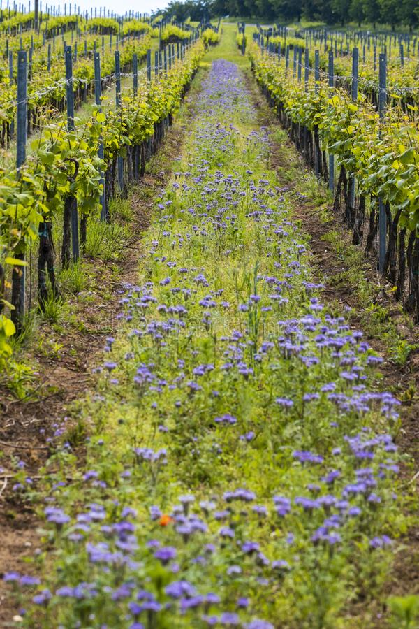 Floral spacing in organic vineyard, Moravia, Czech Republic. South, agriculture, background, bloom, blooming, flowers, blossom, colorful, countryside, europe royalty free stock images