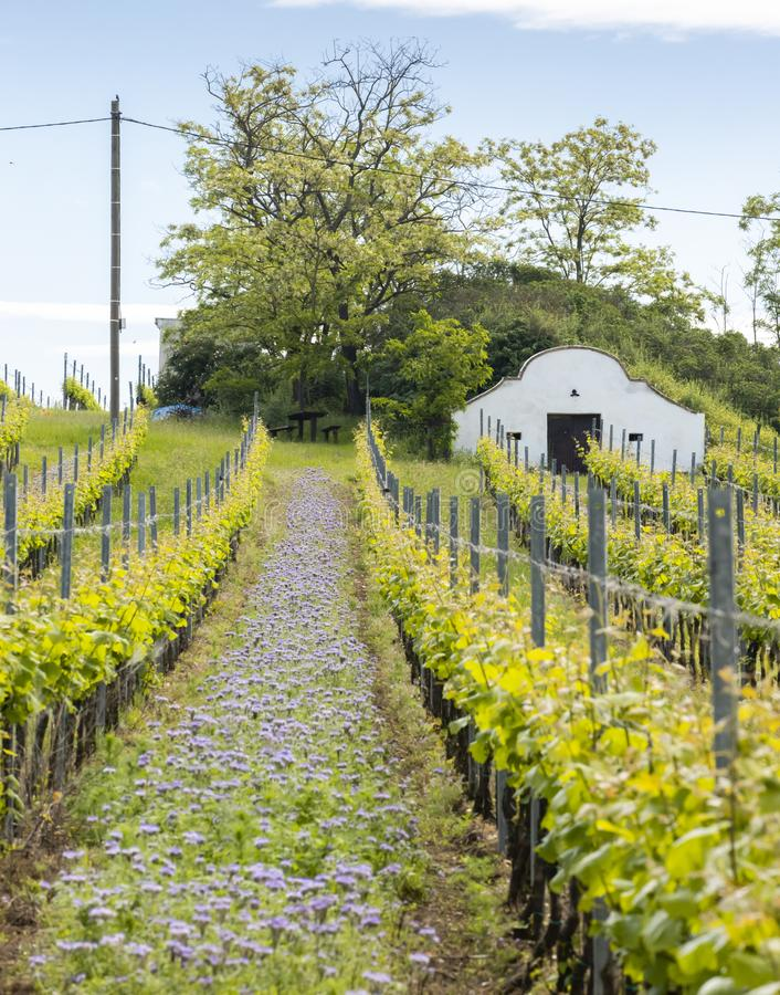 Floral spacing in organic vineyard, Moravia, Czech Republic. South, agriculture, background, bloom, blooming, flowers, blossom, colorful, countryside, europe stock images