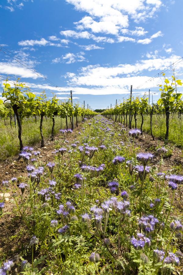 Floral spacing in organic vineyard, Moravia, Czech Republic. South, agriculture, background, bloom, blooming, flowers, blossom, colorful, countryside, europe royalty free stock photo