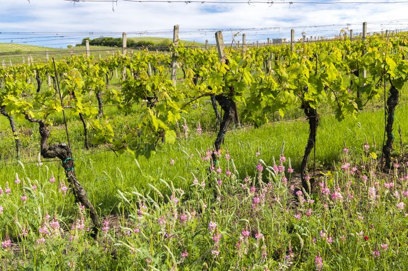 Floral spacing in organic vineyard, Moravia, Czech Republic. South, agriculture, background, bloom, blooming, flowers, blossom, colorful, countryside, europe stock image