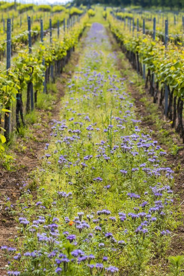 Floral spacing in organic vineyard, Moravia, Czech Republic. Agriculture, background, bio, biological, bloom, blooming, blossom, colorful, conservation stock image