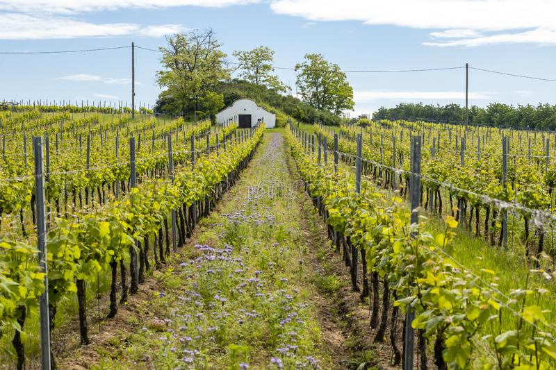 Floral spacing in organic vineyard, Moravia, Czech Republic. Agriculture, background, bio, biological, bloom, blooming, blossom, colorful, conservation royalty free stock images