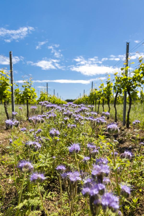 Floral spacing in organic vineyard, Moravia, Czech Republic. Agriculture, background, bio, biological, bloom, blooming, blossom, colorful, conservation royalty free stock photos