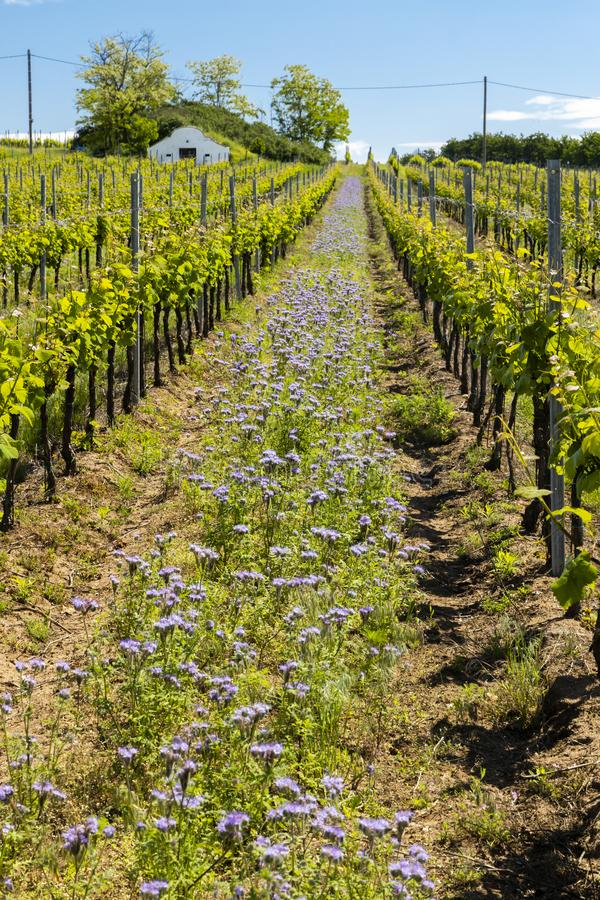 Floral spacing in organic vineyard, Moravia, Czech Republic. Agriculture, background, bio, biological, bloom, blooming, blossom, colorful, conservation royalty free stock image