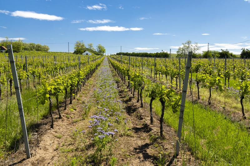 Floral spacing in organic vineyard, Moravia, Czech Republic. Agriculture, background, bio, biological, bloom, blooming, blossom, colorful, conservation royalty free stock photography
