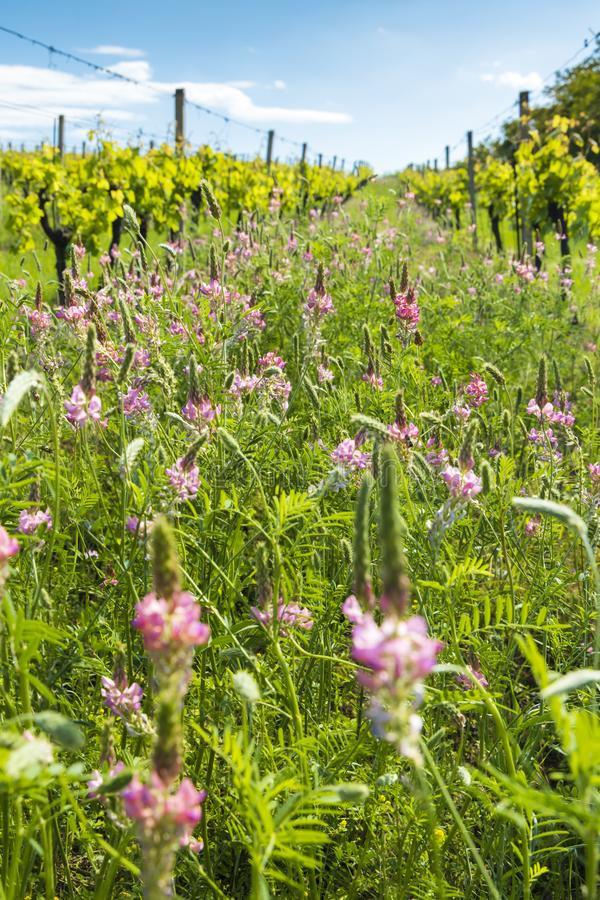Floral spacing in organic vineyard, Moravia, Czech Republic. Agriculture, background, bio, biological, bloom, blooming, blossom, colorful, conservation stock photography