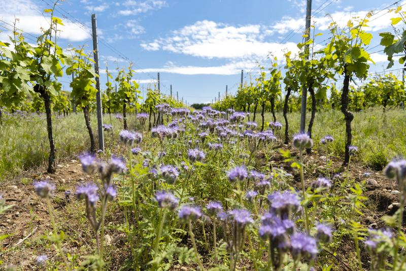 Floral spacing in organic vineyard, Moravia, Czech Republic. Agriculture, background, bio, biological, bloom, blooming, blossom, colorful, conservation stock photos