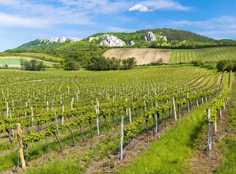 Floral spacing in organic vineyard, Moravia, Czech Republic. South, agriculture, background, bloom, blooming, flowers, blossom, colorful, countryside, europe stock photos