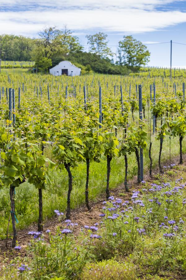 Floral spacing in organic vineyard, Moravia, Czech Republic. South, agriculture, background, bloom, blooming, flowers, blossom, colorful, countryside, europe stock photography
