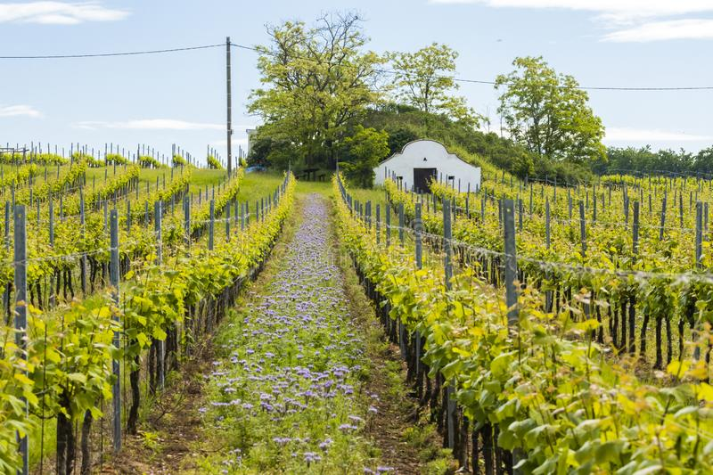 Floral spacing in organic vineyard, Moravia, Czech Republic. Agriculture, background, bio, biological, bloom, blooming, blossom, colorful, conservation stock photo