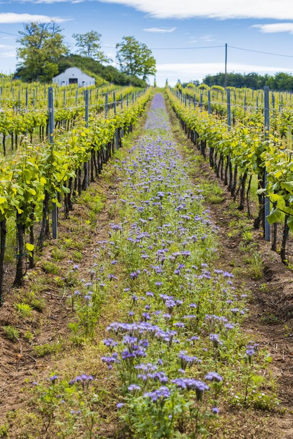 Floral spacing in organic vineyard, Moravia, Czech Republic. Agriculture, background, bio, biological, bloom, blooming, blossom, colorful, conservation royalty free stock photo
