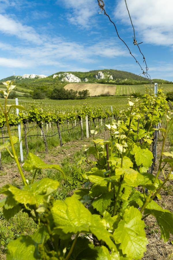 Floral spacing in organic vineyard, Moravia, Czech Republic. South, agriculture, background, bloom, blooming, flowers, blossom, colorful, countryside, europe royalty free stock photos