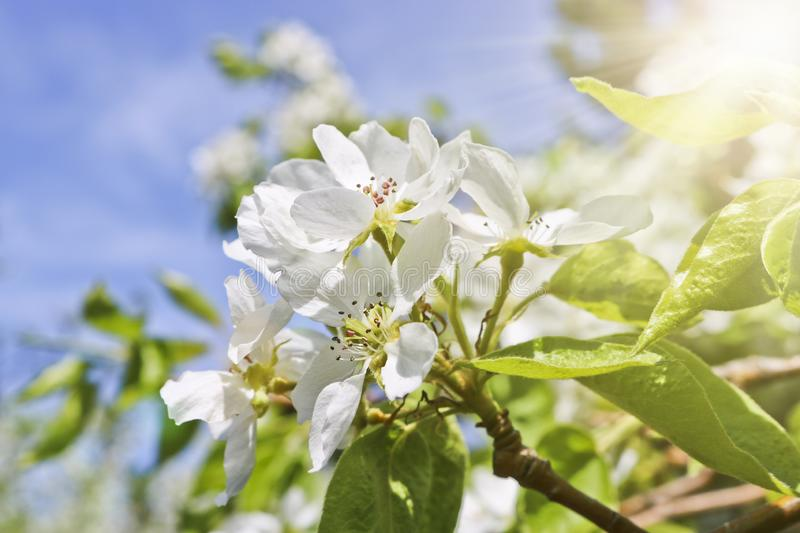 Floral spring background, branches of blossoming apple trees with soft focus in sun rays. Elegant spring image on blurred background stock photo