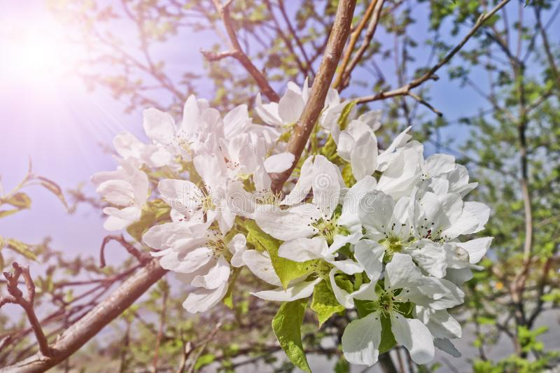 Floral spring background, branches of blossoming apple trees with soft focus in sun rays. Elegant spring image on blurred background stock photography