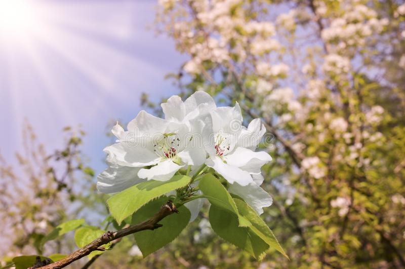 Floral spring background, branches of blossoming apple trees with soft focus in sun rays. Elegant spring image on blurred background royalty free stock image