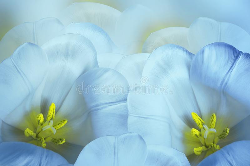 Floral spring bright blue background. Flowers blue-yellow tulips blossom. Close-up. Greeting card. royalty free stock photo