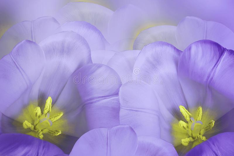 Floral spring violet background. Flowers purple tulips blossom. Close-up. Greeting card. royalty free stock images