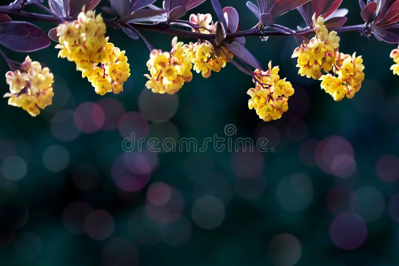 Floral summer background. Beautiful inflorescences of yellow flowers on a purple and dark green background. Artistic summer image. royalty free stock photography