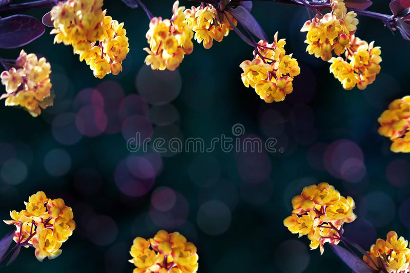 Floral summer background. Beautiful inflorescences of yellow flowers on a purple and dark green background. Artistic summer image. royalty free stock photo
