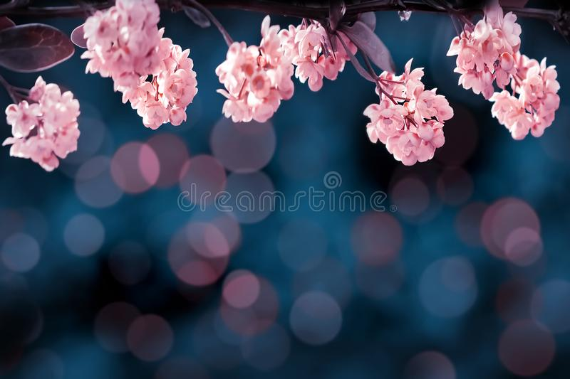 Floral summer gentle background. Beautiful inflorescences of pink flowers on a blue background. Artistic summer image. stock image
