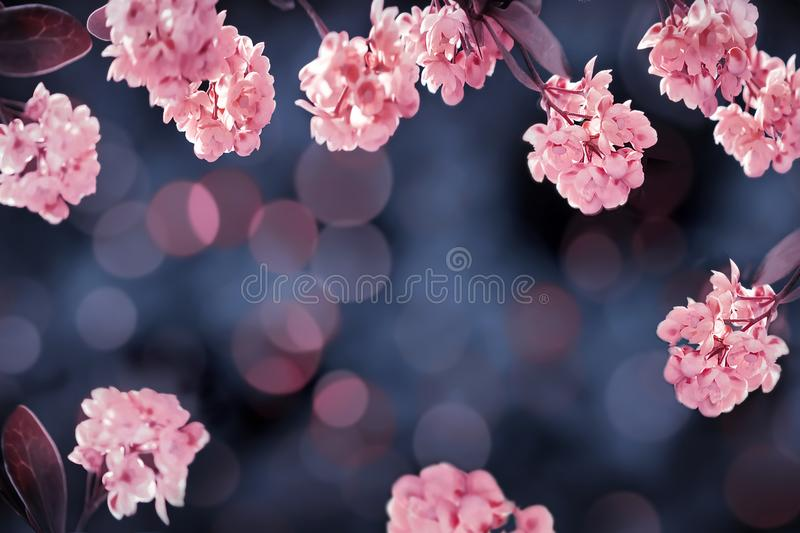 Floral summer gentle background. Beautiful inflorescences of pink flowers on a blue background. Artistic summer image. royalty free stock photos