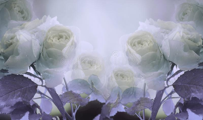 Floral summer white-violet beautiful background. A tender bouquet of roses with green leaves on the stem after the rain with dro stock images