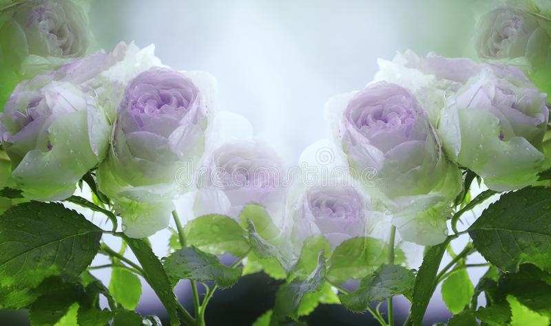 Floral summer white-violet-blue beautiful background. A tender bouquet of roses with green leaves on the stem after the rain wit royalty free stock photos