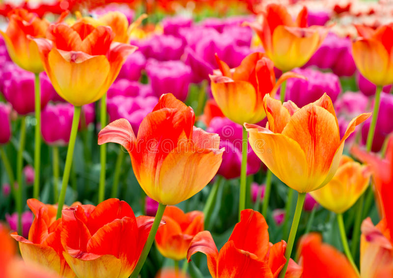 Floral Tulips Background stock image