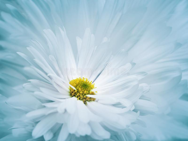 Floral turquoise-white beautiful background. A flower of a white chrysanthemum against a background of light blue petals. Close-up stock image