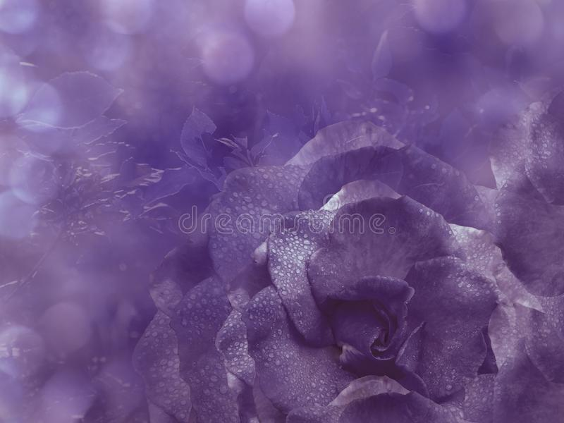 Floral violet background from rose. Flowers composition. A flower of a purple rose on a transparent blue background bokeh. Close-up stock images