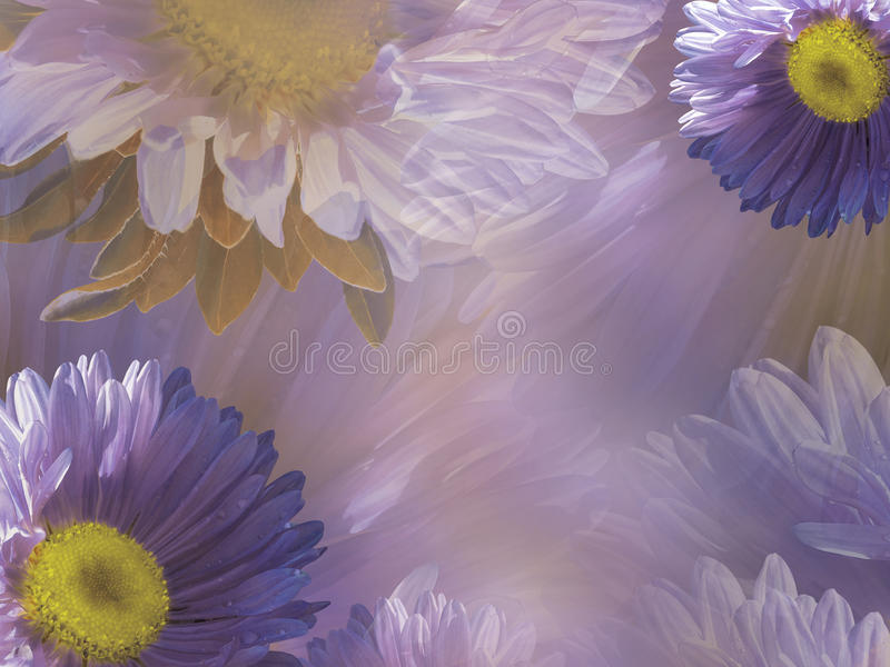 Floral violet-white beautiful background of daisy. Wallpapers of flowers purple-yellow Chamomile. Flower composition. royalty free illustration